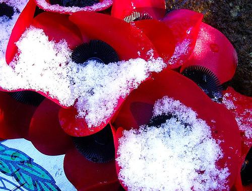 Snow on Poppies